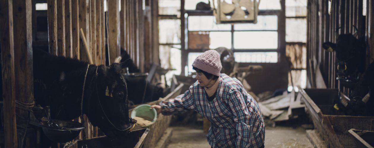 但馬牛と在来種の写真